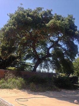 Tree Care Gallery Tree Services Rocklin Ca